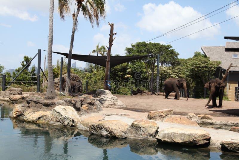 Słonie w Taronga zoo Australia zdjęcie stock