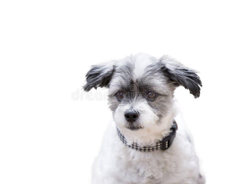 Słuchający pies z raźnymi ucho na odosobnionym białym tle obraz stock