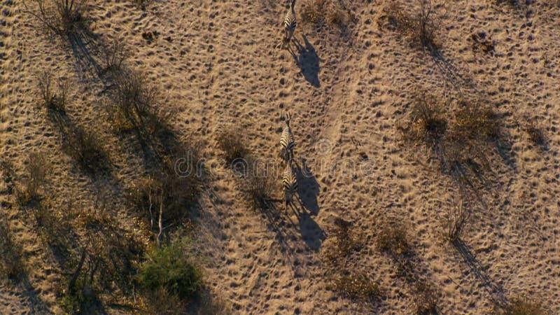 Słucham zebry krzyżuje sawannę widzieć od widoku z lotu ptaka jak obrazy stock