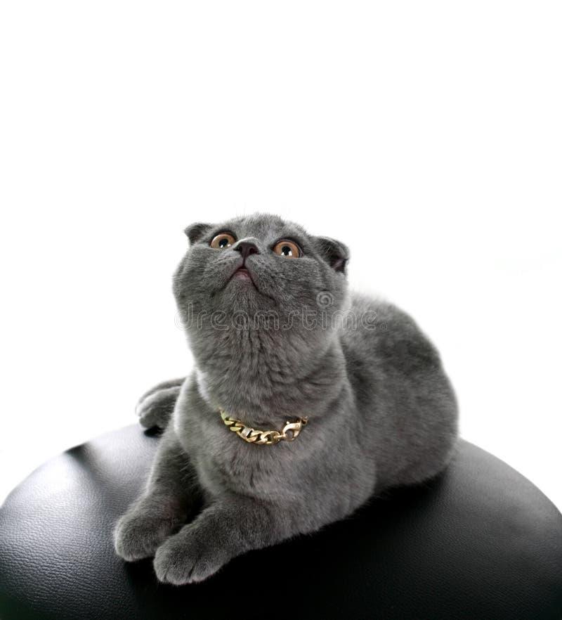 słyszące kot szarość lop ilustracji