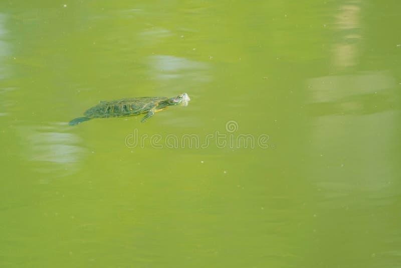 Słyszący żółw zdjęcie royalty free