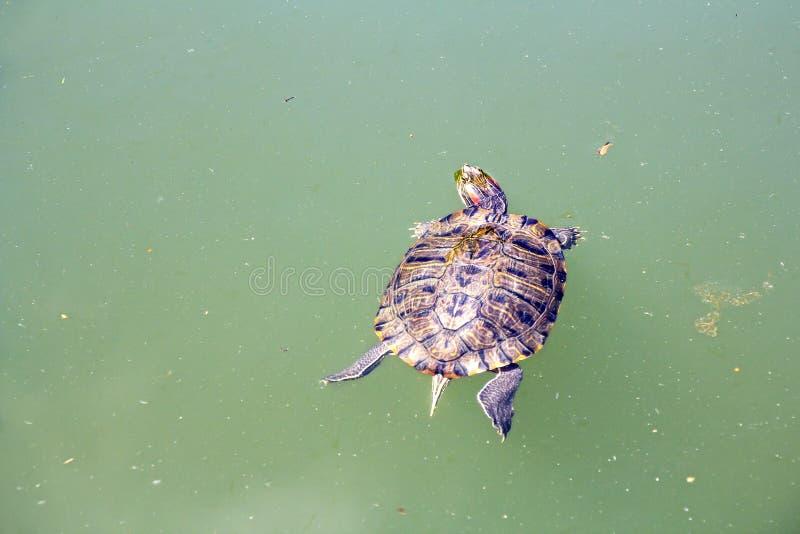 słyszący czerwony żółw zdjęcia royalty free