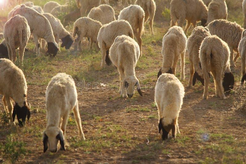 słyszałem owce obrazy stock