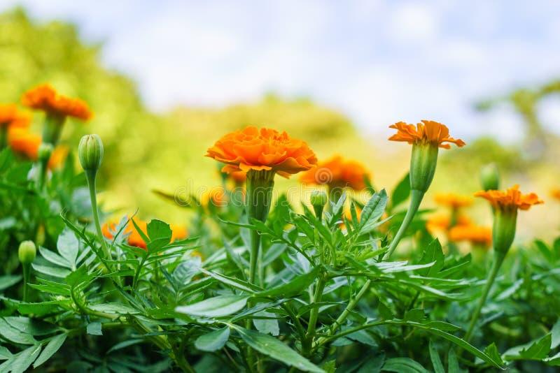 以s为背景的五颜六色的花万寿菊 库存照片