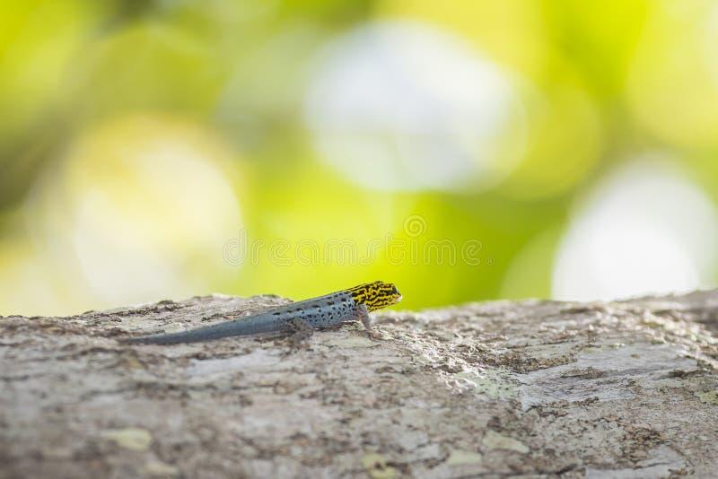 S'élever à tête jaune nain de luteopicturatus de Lygodactylus de gecko images stock