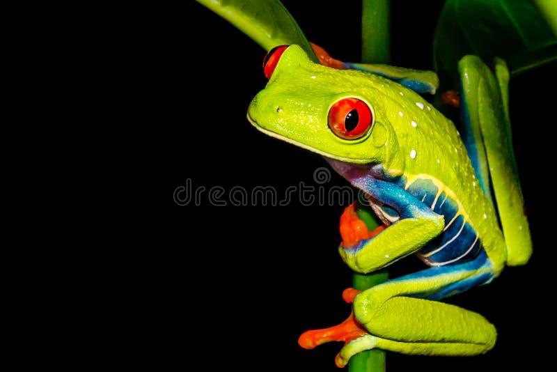 S'élever aux yeux rouges de grenouille d'arbre images libres de droits