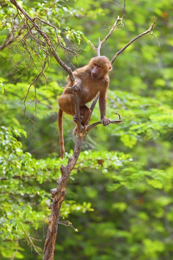 S'élever de babouin photos libres de droits