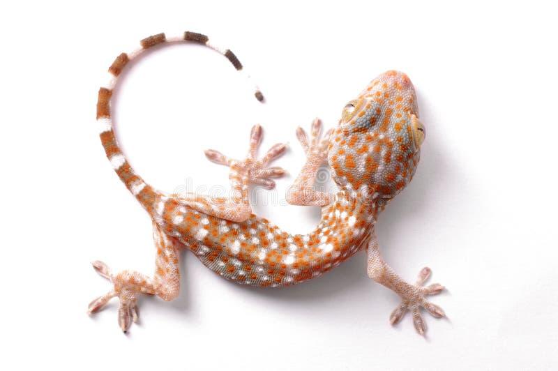 S'élever de gecko d'isolement images libres de droits