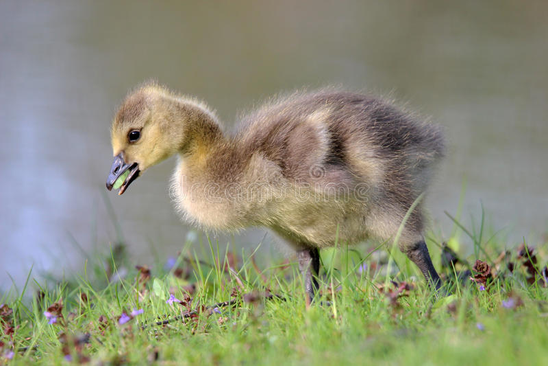 S'érafler Gosling photo stock