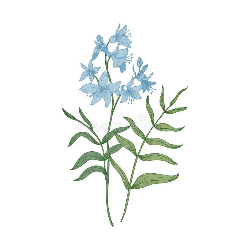 S-лестница ` Джейкоба или рука греческого валериана нарисованная на белой предпосылке Ботанический чертеж herbaceous завода или л иллюстрация штока
