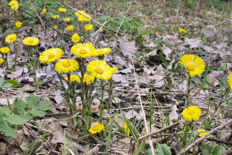 ` S мать-и-мачеха цветет в подоле природы стоковые изображения