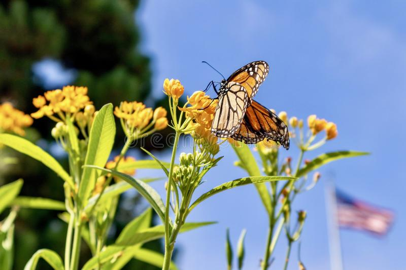 Monarch Butterfly on milkweed royalty free stock photos