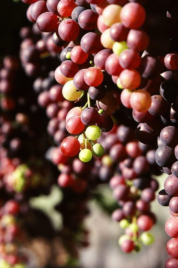 s'arrêter de raisins de tables photographie stock libre de droits