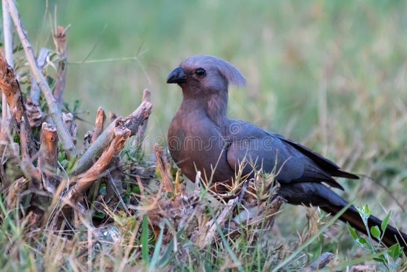 s'attaquent l'oiseau parti en Namibie dans l'afrika à la rivière de kwando images libres de droits