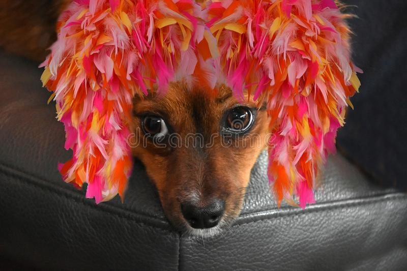 Little puppy dog with colorful carnival feather wig. That`s carnival. Little crossbreed puppy dog with astonished big eyes celebrates carnival. He wears a stock image