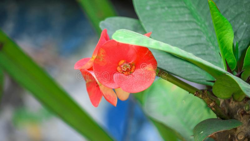 Close up of Crown of Thorns Flower royalty free stock image
