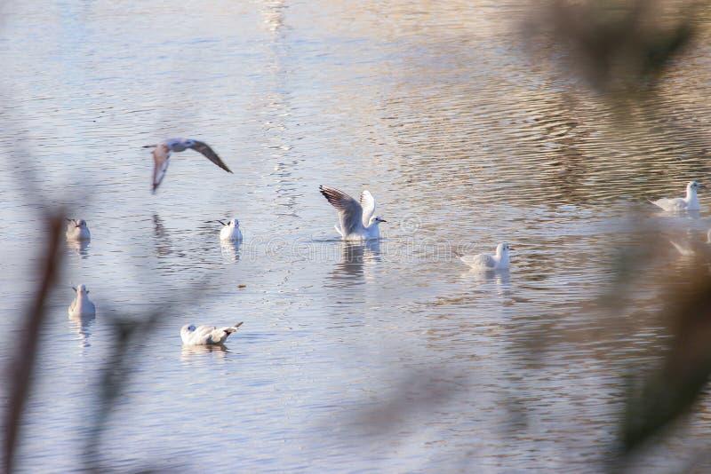 ` S da gaivota que descansa e que pesca no rio imagens de stock royalty free