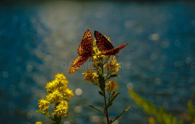 ` S de deux papillons partageant une boisson photographie stock libre de droits