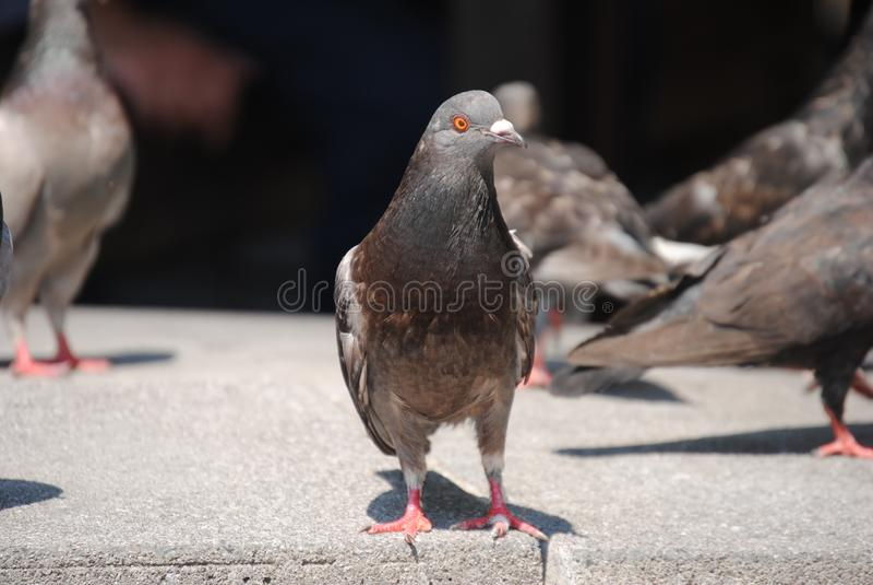 ` S de pigeon photos stock
