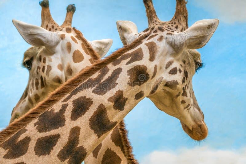 ` S de Rothschild e girafas reticulated foto de stock royalty free