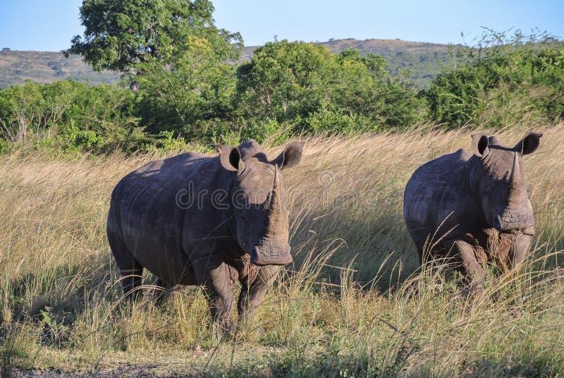 ` S del rinoceronte en Suráfrica foto de archivo