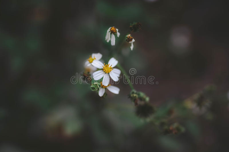 ` S della margherita bianca fotografie stock