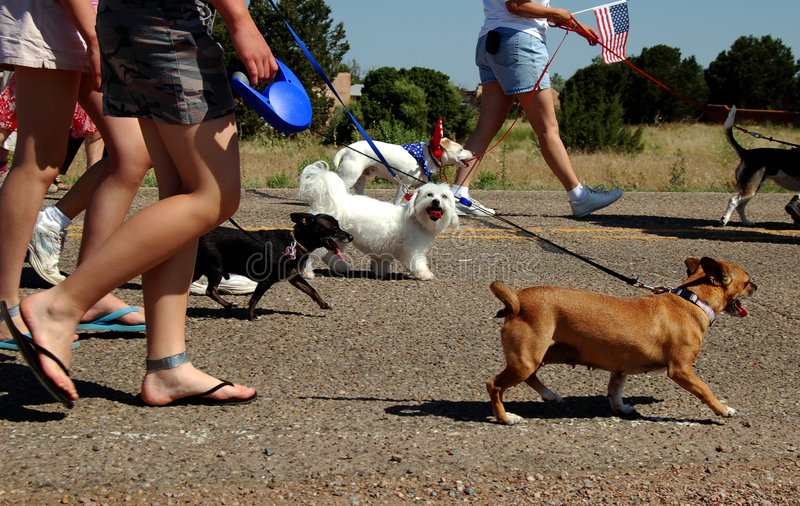 It's a Dog's Life. Dogs walking in a 4th of July parade with their owners royalty free stock images