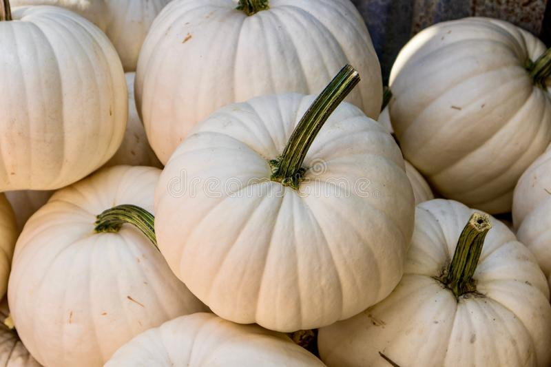 White pumpkins with stems. A group of white decorative pumpkins for halloween, autumn or thanksgiving stock photo