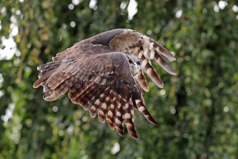 ` S Eagle Owl de Verreaux em voo fotos de stock