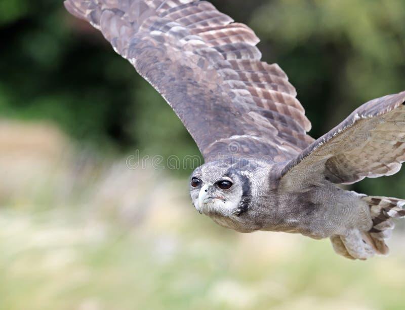 ` S Eagle Owl de Verreaux em voo foto de stock royalty free
