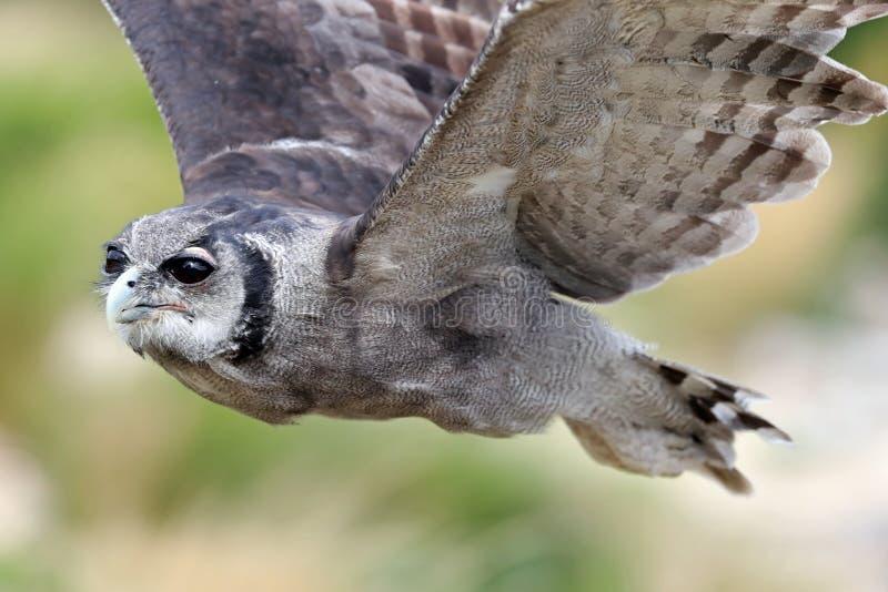 ` S Eagle Owl de Verreaux em voo imagens de stock royalty free