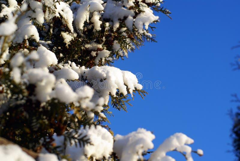 s'embranche le thuja toujours d'actualité de neige image libre de droits