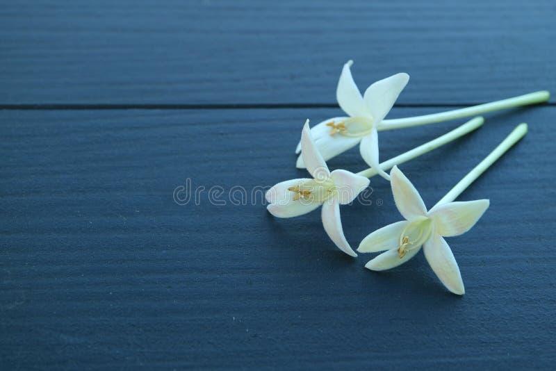 S'est fermé vers le haut de trois belles fleurs de floraison blanches de Millingtonia sur la table en bois bleu-foncé, avec l'esp photographie stock libre de droits