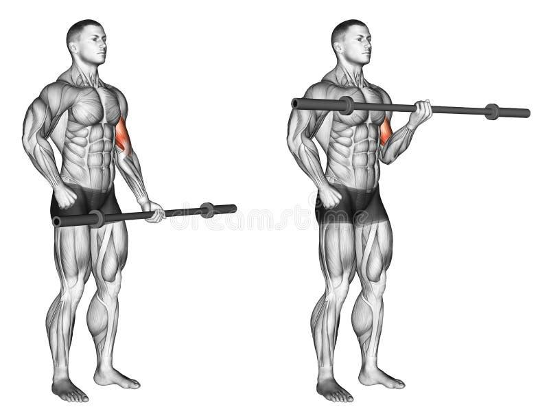 s'exercer Une boucle de biceps de bras avec la barre olympique illustration libre de droits