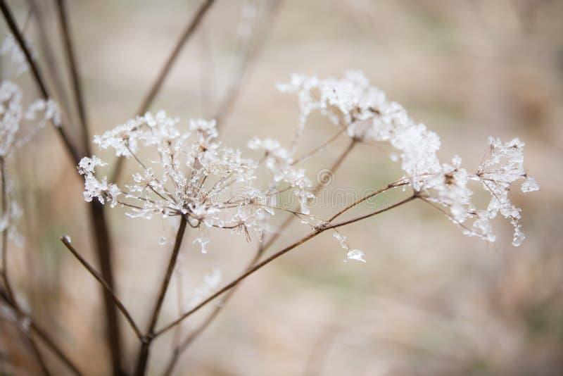 ` S för drottningen anne snör åt blommor som täckas i en härlig iskall frost royaltyfria bilder