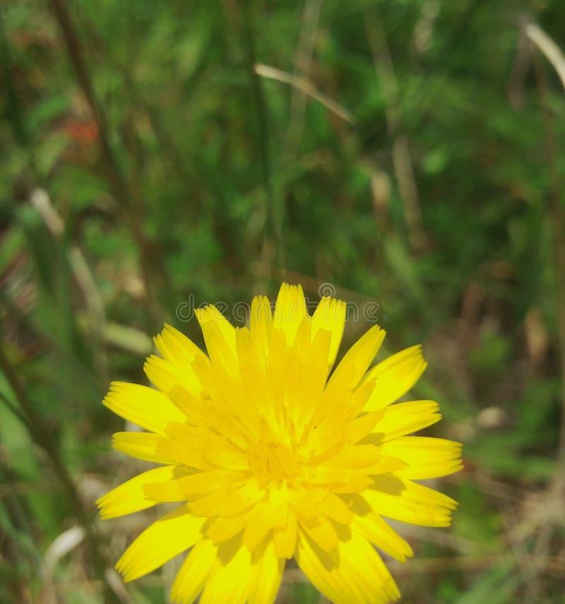 The Yellow dandelion royalty free stock photo
