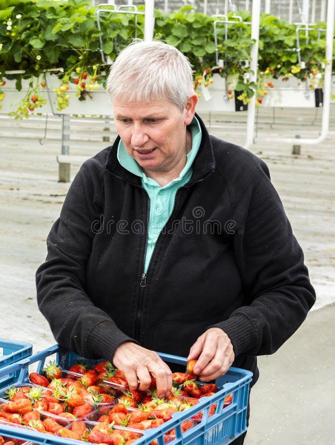 Female Worker at Strawberry Glass House royalty free stock images