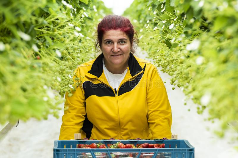 Female Worker in strawberry Greenhouse royalty free stock photos
