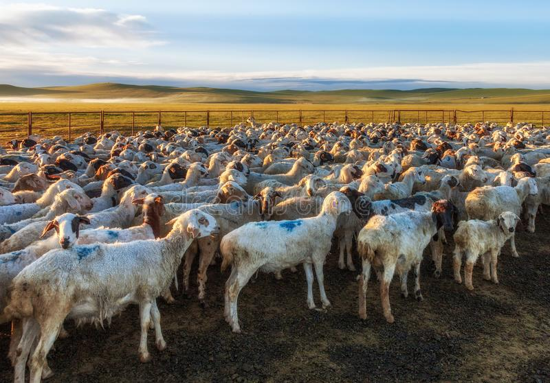 A Flock of Sheep in the Grassland stock photos