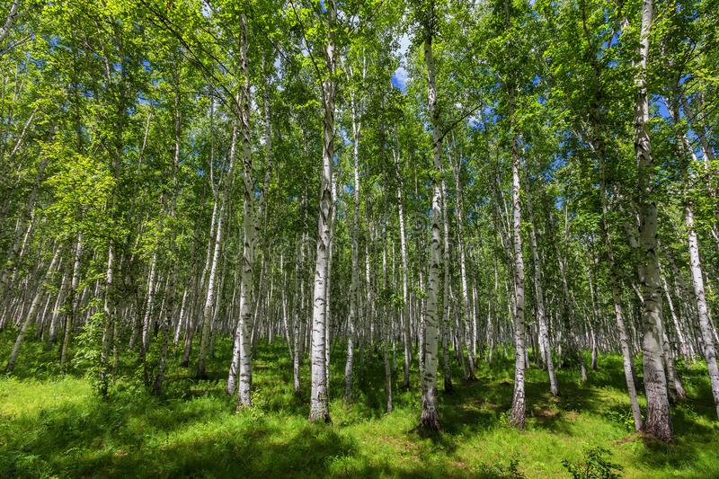 Birch woods stock photography