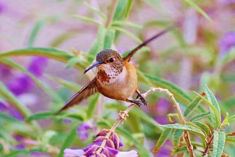 ` S Hummimhbird d'Allen photos stock