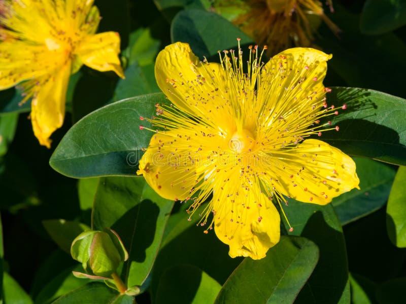 ` S Johannes Würze oder gelbe Rose von Sharon, Hypericum calycinum, Blumennahaufnahme, selektiver Fokus, flacher DOF stockbilder
