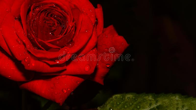 Red rose after slight rain. It`s like in the tropics around here in North-West Bulgaria. One day it rains, other doesn`t. Another day starts with sun and hot royalty free stock photography