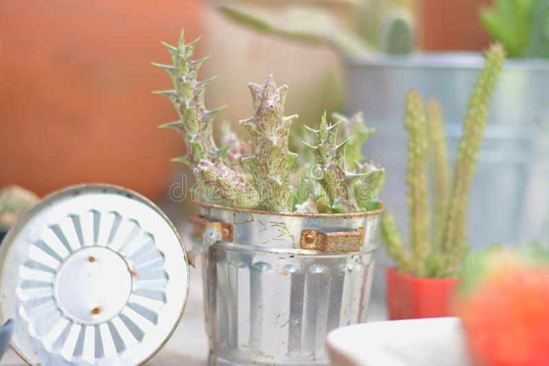 It`s me,Huernia. A kind of cactus succulent. Cutie and easy planting stock photo
