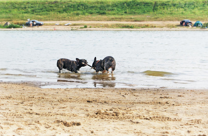 It's mine!. Two french bulldogs playing with a stick on sandy beach stock photos