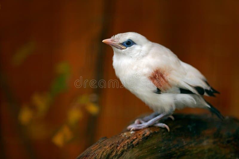 ` S Mynah, rothschildi de Rothschild de Leucopsar, chez Bali, Idonesia, Asie Animal dans l'habitat de nature Oiseau rare se repos photo libre de droits