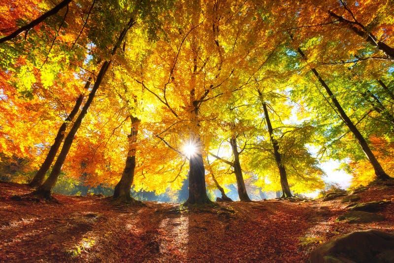 S?o?ce promienie przez jesieni drzew Naturalny jesie? krajobraz w lasowym jesie? lesie i s?o?ce jako t?o zdjęcia stock
