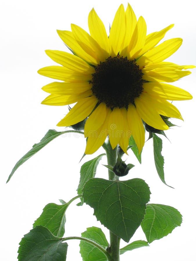 Download Słonecznik zdjęcie stock. Obraz złożonej z uprawy, greenbacks - 126282