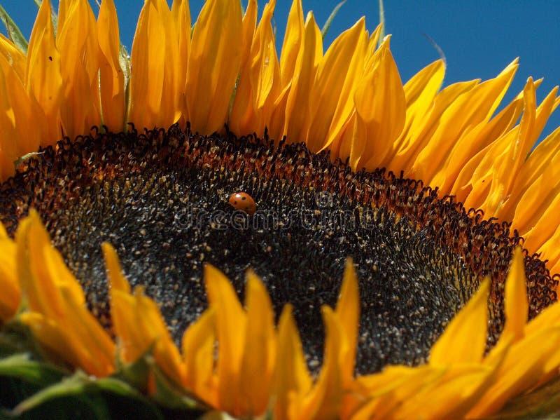 Download Słonecznik obraz stock. Obraz złożonej z kwiat, lato, dojrzały - 126615
