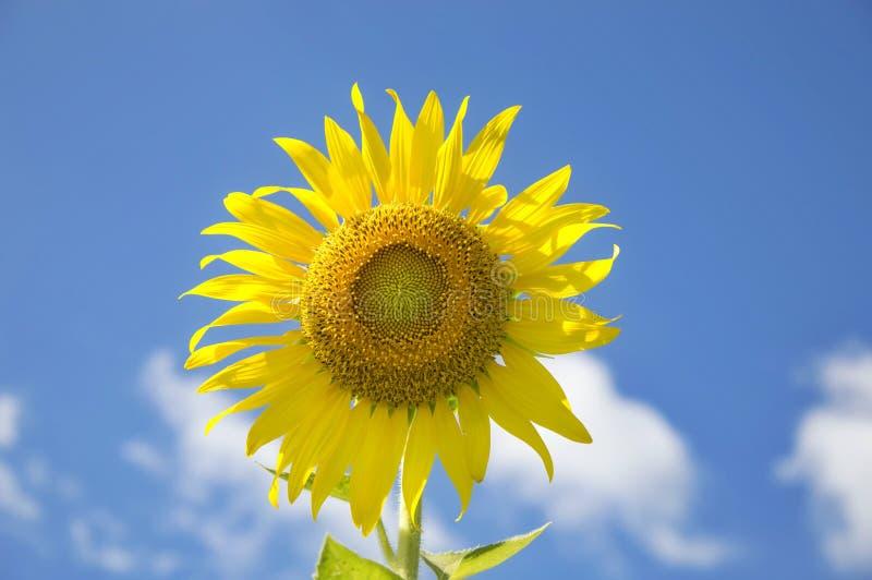Download Słonecznik zdjęcie stock. Obraz złożonej z portret, flory - 57669948